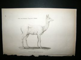 Shaw C1810 Antique Print. Doe Or Female Fallow Deer